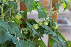 Pomodori del bambino Fotografia Stock