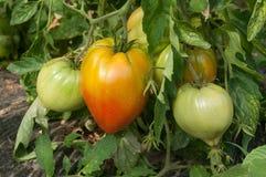 Pomodori del cuore del manzo in una serra Fotografie Stock Libere da Diritti