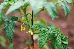 Pomodori del fiore su un gambo verde Immagine Stock Libera da Diritti