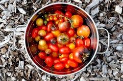 Pomodori del giardino Fotografia Stock Libera da Diritti