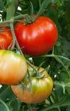 Pomodori del manzo Fotografia Stock Libera da Diritti