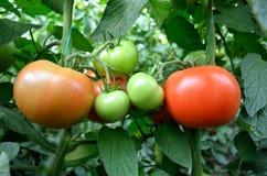 Pomodori del primo piano dentro la serra Immagini Stock Libere da Diritti