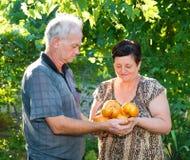 Pomodori del raccolto Fotografia Stock
