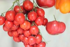 Pomodori del ramoscello Fotografia Stock