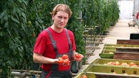 Pomodori della holding dell'operaio in serra Immagini Stock Libere da Diritti