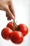 Pomodori della holding della mano Immagine Stock