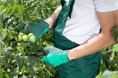 Pomodori della potatura del giardiniere Fotografia Stock