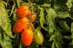 Pomodori della protezione frangivento su un ramo fotografie stock