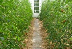 pomodori della serra Immagini Stock