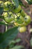 Pomodori della spazzola, vista superiore Immagine Stock