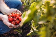 Pomodori della tenuta dell'agricoltore Immagini Stock