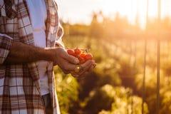 Pomodori della tenuta dell'agricoltore Immagine Stock Libera da Diritti