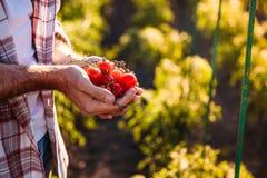 Pomodori della tenuta dell'agricoltore Fotografia Stock Libera da Diritti