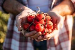 Pomodori della tenuta dell'agricoltore Fotografie Stock Libere da Diritti