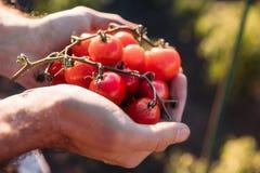 Pomodori della tenuta dell'agricoltore Fotografia Stock