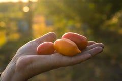 Pomodori della tenuta dell'agricoltore al tramonto Alimento, verdure, agricoltura Fotografia Stock