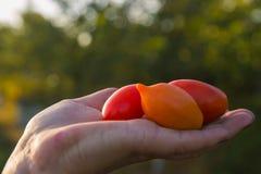 Pomodori della tenuta dell'agricoltore al tramonto Alimento, verdure, agricoltura Fotografie Stock Libere da Diritti