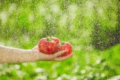 Pomodori della tenuta nelle mani sotto le gocce di pioggia Fotografie Stock Libere da Diritti