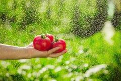Pomodori della tenuta nelle mani sotto le gocce di pioggia Immagini Stock Libere da Diritti