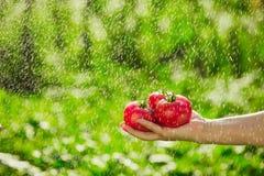 Pomodori della tenuta nelle mani sotto le gocce di pioggia Fotografia Stock Libera da Diritti