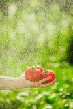 Pomodori della tenuta nelle mani sotto le gocce di pioggia Immagine Stock Libera da Diritti