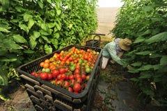 Pomodori di albero crescenti del frutteto Immagini Stock