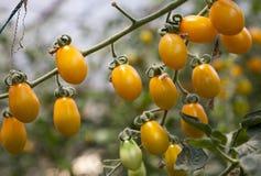 Pomodori di ciliegia Fotografia Stock Libera da Diritti