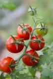 Pomodori di ciliegia Fotografie Stock Libere da Diritti