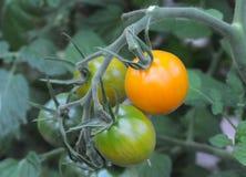 Pomodori di ciliegia arancioni Fotografia Stock