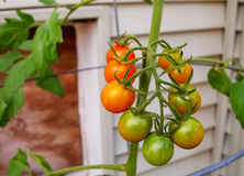 Pomodori di ciliegia di maturazione Fotografie Stock