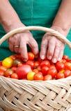 Pomodori di ciliegia di raccolto della donna da un cestino Fotografie Stock