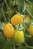 Pomodori di ciliegia gialli Fotografia Stock