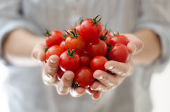 Pomodori di ciliegia in mani di Womans Immagine Stock