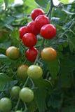 Pomodori di ciliegia rossi maturi Fotografia Stock
