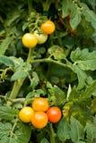 Pomodori di ciliegia sul gambo Immagini Stock Libere da Diritti