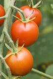 Pomodori di ciliegia sulla vite 3 Immagine Stock