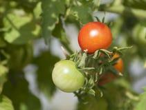 Pomodori di ciliegia sulla vite Fotografia Stock