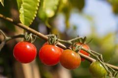 Pomodori di ciliegia sulla vite Immagini Stock