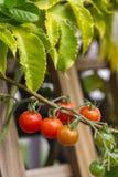 Pomodori di ciliegia sulla vite Immagini Stock Libere da Diritti