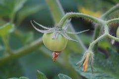 Pomodori di ciliegia verdi Fotografie Stock