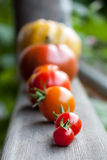 Pomodori di cimelio Immagini Stock Libere da Diritti