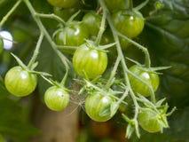 Pomodori di Coctail Immagine Stock Libera da Diritti