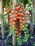 Pomodori di Coctail Fotografie Stock Libere da Diritti