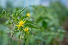 Pomodori di fioritura in serra Fotografia Stock Libera da Diritti