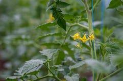 Pomodori di fioritura in serra Fotografie Stock