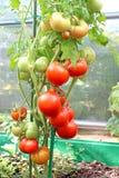 Pomodori di maturazione Fotografie Stock