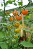 Pomodori di maturazione Immagini Stock Libere da Diritti