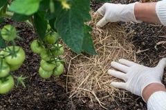 Pomodori di pacciamazione organici Fotografia Stock
