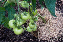 Pomodori di pacciamazione organici Fotografia Stock Libera da Diritti