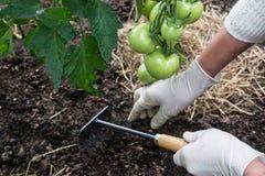 Pomodori di pacciamazione organici Immagini Stock Libere da Diritti